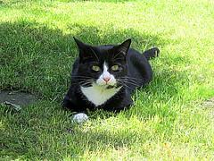 Blueberry (kingsway john) Tags: blueberry cat black white pet grass