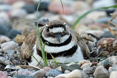 IMG_5693 killdeer (starc283) Tags: killdeer flickr flicker starc283 bird birding birds nature naturesfinest naturewatcher nebraska wildlife