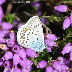 Silver-studded blue (LPJC (away for August)) Tags: silverstuddedblue preesheath cheshire uk 2019 lpjc butterfly