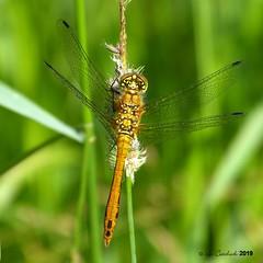 Ruddy darter - juvenile male (LPJC (away for August)) Tags: ruddydarter dragonfly skylarksreserve skylarks nottinghamshire uk lpjc