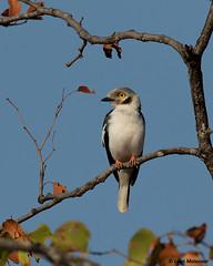 White-crested Helmet-Shrike (leendert3) Tags: leonmolenaar wildlife wilderness wildanimal southafrica krugernationalpark nature naturereserve naturalhabitat bird whitecrestedhelmetshrike