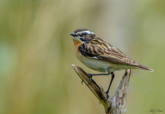 DSC1097  Whinchat... (Jeff Lack Wildlife&Nature) Tags: whinchat chats chat birds bird avian animal animals wildlife wildbirds wildlifephotography jefflackphotography moorland moors heathland heaths heathlands hedgerows countryside nature