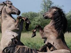 Flying hooves (yvonnepay615) Tags: panasonic lumix gh4 konikponies nt nationaltrust wickenfen cambridgeshire uk