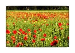 Rot - Gelb - Grün  ... und doch keine Ampel :-) (heute?) Tags: fotografie landscape perspektive blütezeit landwirtschaft pflanzen landschaft frühling colours habitats natur heimat lebensräume springtime steiermark styria art hochsteiermark