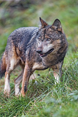 Wolf in the grass (Tambako the Jaguar) Tags: wolf canid canine dog standing posing portrait face grass beautiful openmouth siky park zoo crémines switzerland nikon d5