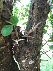 Flacourtia indica (Burm.f.) Merr. Salicaceae-Indian plum, ตะขบป่า (SierraSunrise) Tags: esarn isaan nongkhai phonphisai plants thailand thorns trees thorny edible salicaceae spines fruit