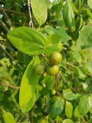Flacourtia indica (Burm.f.) Merr. Salicaceae-Indian plum, ตะขบป่า (SierraSunrise) Tags: thailand phonphisai nongkhai isaan esarn plants thorny thorns spines trees edible salicaceae