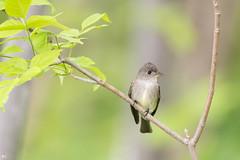 ''Sympathique!'' Pioui de l'est-Eastern wood-pewee (pascaleforest) Tags: oiseau bird animal passion nikon nature wild wildlife faune québec canada