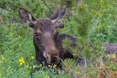 Yearling Bull (RkyMtnGrl) Tags: wildlife nature moose yearling bull forest summer morning colorado 2019