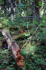 6Q3A3434 (www.ilkkajukarainen.fi) Tags: forest metsä three puu karkali luonnonpuisto natrepark suomi finland finlande eu europa scandinavia happy life line stuff visit travel travelling