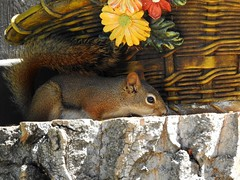 Red Squirrel (pamfromcalgary) Tags: animal rodent redsquirrel pamhawkes