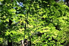 A tapestry of green (rozoneill) Tags: mckenzie river national recreation trail bridge deer scott boulder willamette forest belknap springs oregon hiking creek