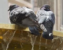 Canicule (Heat Wave) (Faapuroa) Tags: heat wave canicule pigeon fontaine chaleur fountain eatwave oiseau bird nikon coolpix b700