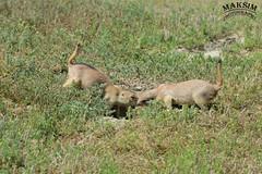 Battle (Bill Maksim Photography) Tags: theodor theodore roosevelt national park hike trail camp north dakota frog toad prairie dog babies holes explore