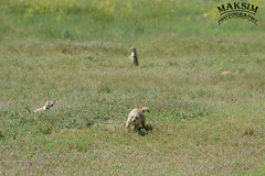 How Many Dogs? (Bill Maksim Photography) Tags: theodor theodore roosevelt national park hike trail camp north dakota frog toad prairie dog babies holes explore