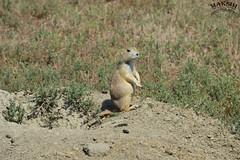 Dun Dun DUN (Bill Maksim Photography) Tags: theodor theodore roosevelt national park hike trail camp north dakota frog toad prairie dog babies holes explore