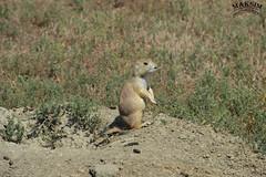 Hole Guard (Bill Maksim Photography) Tags: theodor theodore roosevelt national park hike trail camp north dakota frog toad prairie dog babies holes explore