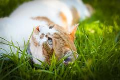 Jimmy (Paul K Martin) Tags: cat cats ginger white tabby mog moggy boy furry feline garden grass sunlight portrait pet cute adorable nikon d300s
