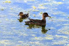 Sarcelle d'Hiver Lemoyne 29 juin 2019 (frankthewood63) Tags: 2019 valdor abitibi québec oiseaux oiseau birds bird