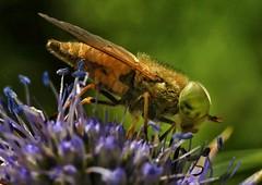 Horse fly feeding on Eryngium (johnlauper) Tags: closeup macro insect nature wildlife eryngium horsefly fly