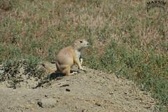 Keepin An Eye (Bill Maksim Photography) Tags: theodor theodore roosevelt national park hike trail camp north dakota frog toad prairie dog babies holes explore