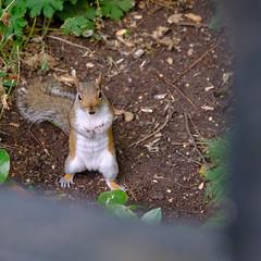 Squirrel! (Laurens Voogt) Tags: fujifilm xh1 london hydepark greysquirrel invasivespecies park nature animal