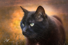 Painting (Jeff-Photo) Tags: cat black chat pet painting processing texture