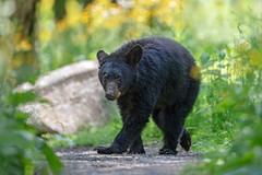 Crossing Paths... (DTT67) Tags: nature canon wildlife bear summer blackbear 500mmii animal forest fur mammal woodlands shenandoah canon5dmkiv