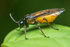 Sawfly (Shane Jones) Tags: fly insect wildlife nature nikon d810 50mmf18 50mmf18reversed pk3x2 pk3extensiontube macro macrolife macrophotosnolimits macrolicious