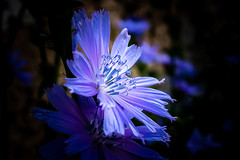 Är det Cikoria eller Parksallat? (perautomatikphoto) Tags: sonya6000 sigma16mmf14 lightroomcc lightroom sweden sverige gotland gotland2019 visby visby2019 sommar2019 sommar blommor gotlandsblommor summer summer2019 cichoriumintybus or cicerbitamacrophylla flower flowers blue blueflower macro macrophotography macrophotos flowersofinstagram flowerphotography flowergram macrowithwideangle