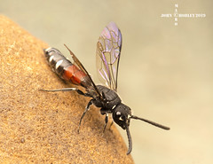 Ichneumon wasp (John Chorley) Tags: ichneumonwasp wasp ichneumon parasiticwasp johnchorley nature macro macros macrophotography closeup closeups 2019