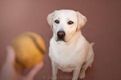 Playtime with Jesse (danel.krit) Tags: labrador retriever dog dogphotographer petphotographer canine
