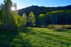 Spring, Big Cottonwood Canyon (rangerbatt) Tags: d7500 wildutah wasatchmountains landscape sunrise forest aspens meadow nikonafs1024mm nikon