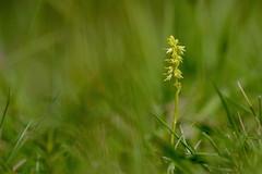 Kent's Musk Orchid - Herminium monorchis (favmark1) Tags: kentorchids britishorchids wildorchids muskorchids herminiummonorchis kent orchids