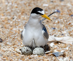 Protecting her precious eggs (tresed47) Tags: 2019 201906jun 20190627njbelmarbirds birds canon7dmkii content folder june leasttern newjersey peterscamera petersphotos places season spring takenby tern us