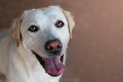 Jesse (danel.krit) Tags: labrador retriever dog dogphotographer petphotographer canine