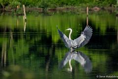 Coming in for a landing - Great Blue Heron (matadobraphotography) Tags: heron greatblueheron bird reflection