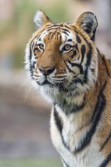A nice portrait of Noah (Tambako the Jaguar) Tags: tiger big wild cat bengal male posing portrait face pretty calm attentive siky park zoo crémines switzerland nikon d5