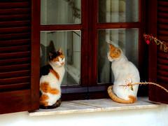 pair of cats (papazachariasa) Tags: cats pair window animals couple thessaloniki