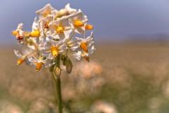 Cultivons des Pommes de terre (Jean-Marie Lison) Tags: eos80d gaasbeek champ pommedeterre fleur macro