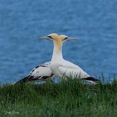 🇬🇧 Gannets (vickyouten) Tags: vickyouten gannet wildlife nature nikon nikond7200 nikonphotography sigma sigma150600mmc bemptoncliffs bridlington uk