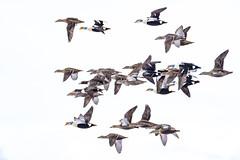 ᕿᖓᓕᒃ | Mitiinnaq and Qingalaaq | King Eider Flying Flock | Somateria spectabilis (Paul B Jones) Tags: ᕿᖓᓕᒃ qingalaaq kingeider somateriaspectabilis flock floeedge pondinlet baffinisland nunavut arctic canada mitiinnaq bird duck wildlife nature canon eos1dxmarkii ef600mmf4lisiiiusm ef14xiii