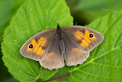 Pretty (music_man800) Tags: maniola jurtina meadow brown butterfly butterflies lepidoptera insect insects animals life animal nature wildlife outdoors outside flora fauna natural world orange uk united kingdom essex belfairs woods reserve nr trust ride glade forest trees bask sunny evening afternoon sun june warm hot 2019 female pretty marked canon 700d adobe lightroom creative cloud edit photography sigma 150mm macro lens prime sharp focus arty artistic walk hike weather