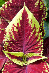 DSC00237 - Shape and colour (archer10 (Dennis)) Tags: montreal sony a6300 ilce6300 18200mm 1650mm mirrorless free freepicture archer10 dennis jarvis dennisgjarvis dennisjarvis iamcanadian canada oldmontreal oldportmontreal quebec flower coleus