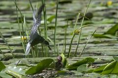 black tern (madziulka_a) Tags: blacktern poland nikon d850 wildlife rybitwaczarna bird summer green nature