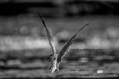 Sterne pierregarin - Common Tern - Sterna hirundo (MichelGuérin) Tags: 1ruedupont 2019 27juin2019 birds canada commontern domainedelapêcheausaumon eau june lightroomcc mariechristine mariechristineguérin michelguerin michelguérin nature nikon nikond500 oiseaux qc qcj0s1v0 québec roussillon saintemartine sternahirundo sternepierregarin juin