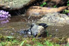 Bagnetto rigenerante (silvano fabris) Tags: photonature nature wildlife canonphotography animals birds uccelli