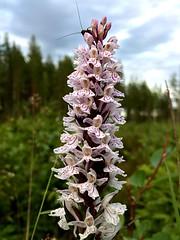 Spotted Orcid (halleluja2014) Tags: orchidaceae falun dactylorhiza orkidé fuchsii skogsnycklar rostberg spottedorcid commonspottedorcid kärr