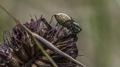 spider-5 (Bruno Casals) Tags: spider macro pentax k1 smc pentaxd fa 100mm f28 wr