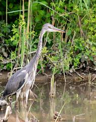 Monsieur Heron (btc67) Tags: eau heron oiseau